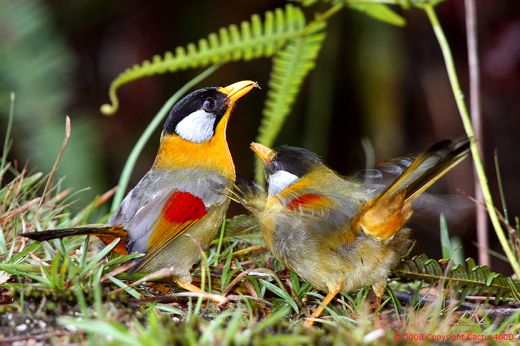 <strong>Silver-eared Mesia feeding fledgling</strong>