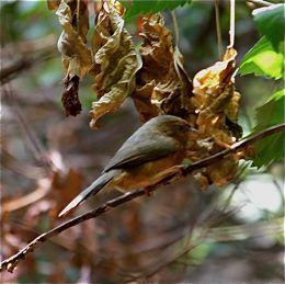 Rufous Babbler sighted at Yelagiri Hills, Tamil Nadu, India