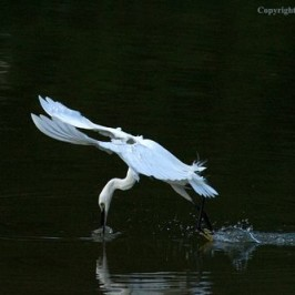 Foraging behaviour of the Little Egret