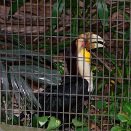 Hornbill breeding in the Jurong Bird Park