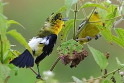 Common Iora: Courtship ritual