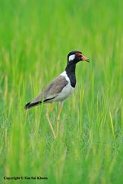 Distraction tactic of a Red-wattled Lapwing