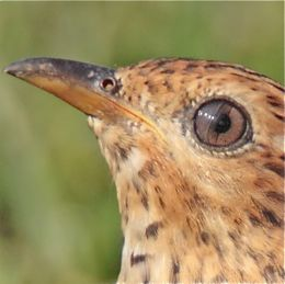 Plaintive Cuckoo's nictitating membrane