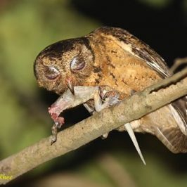 Collared Scops Owl feeding fledgling