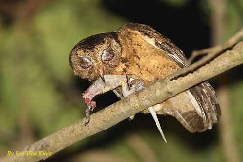 Collared Scops Owl feeding fledgling