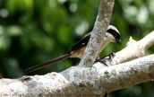 Long-tailed Shrike catches a worm