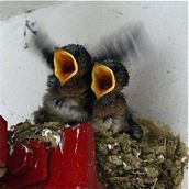 Pacific Swallow chicks have fledged 2