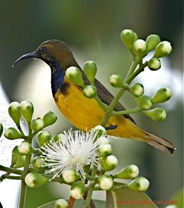 Syzygium sp. and the birds it attracts