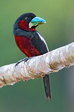 Broadbills Of The Thai Malay Peninsula Bird Ecology Study Group