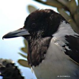 Butcherbirds of Australia