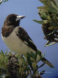 Butcherbirds of Australia