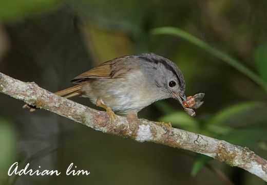 Mountain Fulvetta eating a hopper?