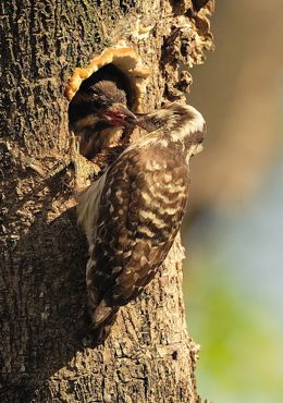 Brown-capped Woodpecker nesting