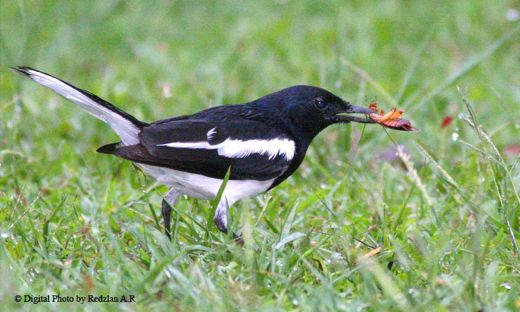<strong>Oriental Magpie Robin taking cockroach</strong>