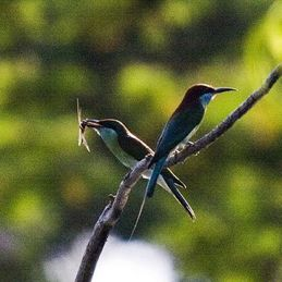 Why is the juvenile bee-eater not fed bees?