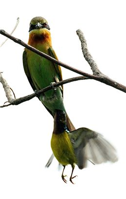 Brown-throated Sunbird mobs Blue-tailed Bee-eater