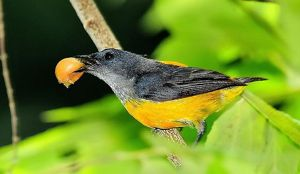 Orange-bellied Flowerpecker eating fruit of Indian cherry