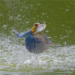Stork-billed Kingfisher catching another fish