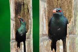 Strange behaviour of Asian Glossy Starling