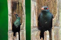 Strange behaviour of Asian Glossy Starling
