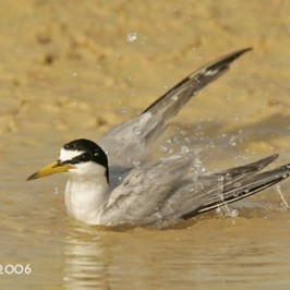 Little Tern taking a bath