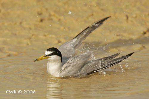 Little Tern taking a bath