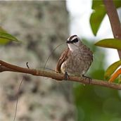 <strong>Yellow-vented Bulbul: A courtship behaviour</strong>