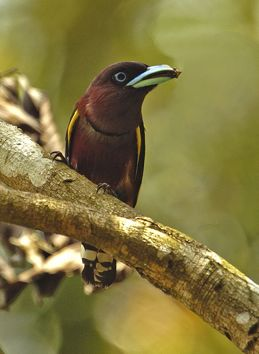 Broadbills of the Thai-Malay Peninsula