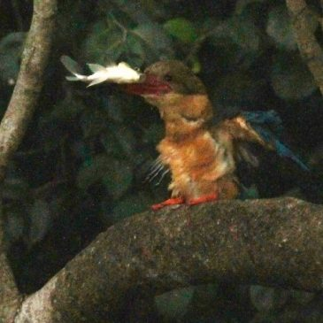 Stork-billed Kingfisher rejects freshly caught prey