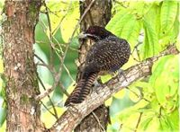 Close encounter with an Asian Koel