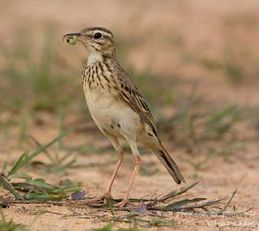 Nesting of the Paddyfield Pipit