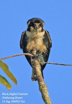 Black-thighed Falconet eating grasshopper