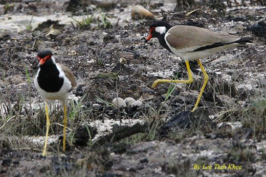 Red-wattled Lapwing: Failed nesting