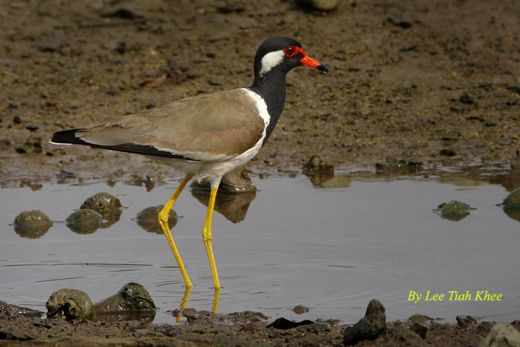 <strong>Red-wattled Lapwing: Failed nesting</strong>