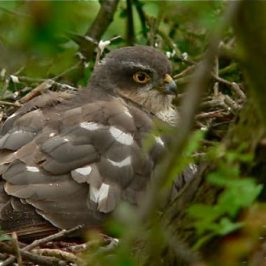 <strong>Eurasian Sparrowhawk on webcam: Update</strong>