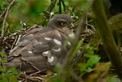 Eurasian Sparrowhawk on webcam: Update