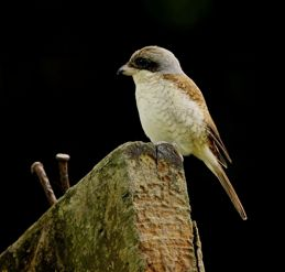 Adult Tiger Shrike does arrive in Singapore