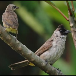 Mixed species bulbul feeding juvenile