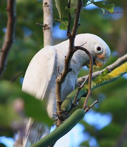 Tanimbar Corella eating cassis fruit