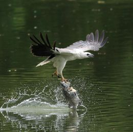 White-bellied Sea Eagle catching dead fish