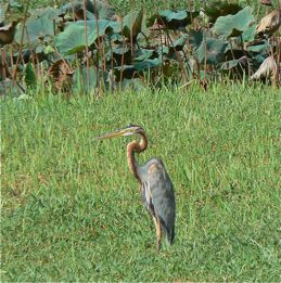 Aquatic copulation of the Purple Heron
