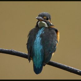 Common Kingfisher doing a head turn