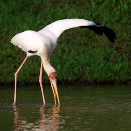 Milky Stork forages with an open wing