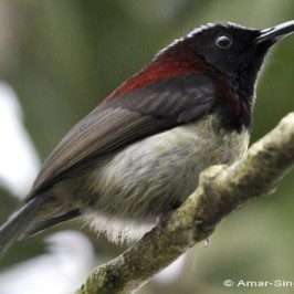 Black-throated Sunbird feeding on nectar