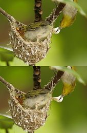 Oriental White-eye: Waste disposal