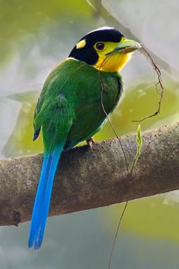 Broadbills Are So Called Because They Have A Large Broad Flat Hooked Bill And Wide Gape All The Seven Species Found In Rainforests