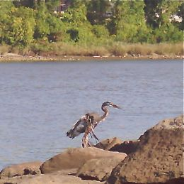 <strong>Injured Great Blue Heron</strong>