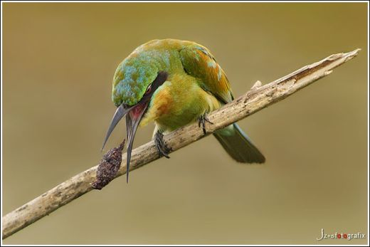 What does a bee-eater do after a meal?