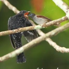Babbler feeding Drongo Cuckoo fledgling