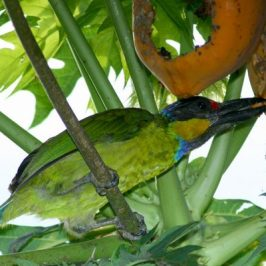 Gold-whiskered Barbet and papaya